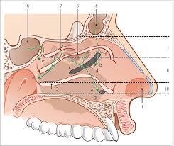 Nose Anatomy And Physiology Sinonasal Anatomy And Physiology Ento Key