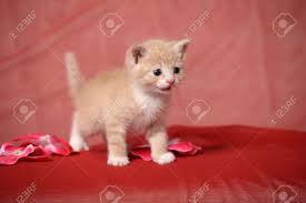 Peach Color Peach Color Kitten Stock Photo Picture And Royalty Free Image