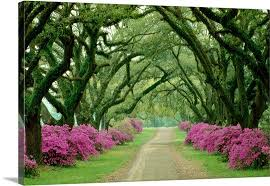 a beautiful pathway lined with trees with purple bushes at their