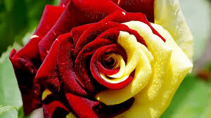Red Color Meaning Meaning Of Pink Red White Color Roses In Which Situation They