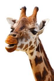 70 giraffe gifts giraffe home decor art