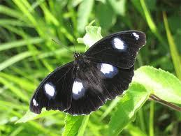 why butterflies have u0027eye spots u0027