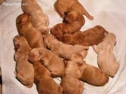 american eskimo dog for sale in colorado golden retriever puppies in colorado