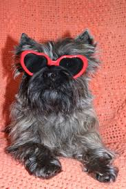 affenpinscher india 22 best hollywood hounds images on pinterest vintage dog