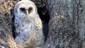 baby owl up in nest of tree