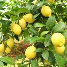 30 pcs lemon seeds fresh juicing edible healthy ornamental