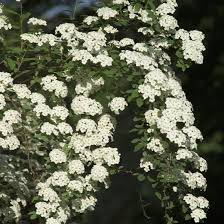 bridal veil spirea spiraea prunifolia michigan flower farm