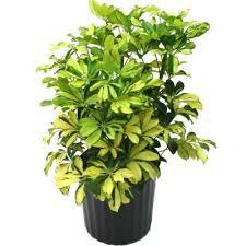 buy schefflera arboricola umbrella tree free