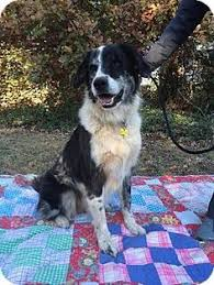 south carolina australian shepherd rescue australian shepherd dog for adoption in belvidere tn adn 528401