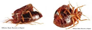 cimice letto punture cimici dei letti insetti linnea it