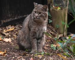 Lights At The National Zoo by Bobcat Sighting Reported Near National Zoo Wtop