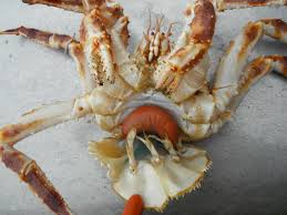 parasite turns alaska king crabs into zombies krbd