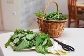 come cucinare l ortica ortica i mille benefici e come utilizzarla al meglio greenme