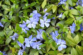 vinca flowers periwinkle how to remove periwinkle ground cover
