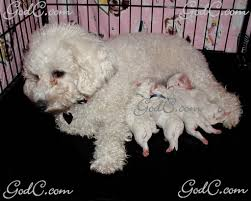 bichon frise 4 months old bichon frise u2013 dogs u0026 puppies god u0027s creatures