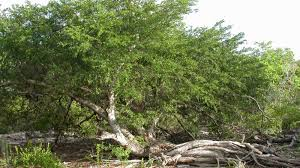 vachellia anegadensis britton seigler ebinger plants of the