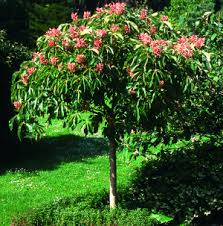 chestnut trees for sale at trees direct