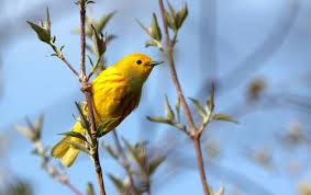 birding greater parkersburg cvb