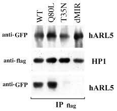 Anti Flag Affinity Gel A Developmentally Regulated Arf Like 5 Protein Arl5 Localized
