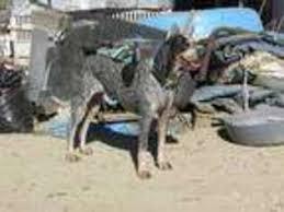 bluetick coonhound breeders near me puppyfinder com bluetick coonhound puppies for sale around the
