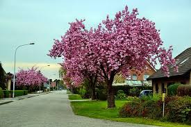 plant of the month ornamental cherry tree