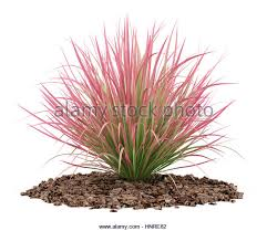 ornamental grass cut out stock images pictures alamy