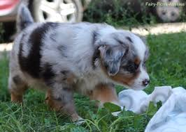australian shepherd nbt wurf fairy floss miss moneypenny x radiant lethal weapon riggs