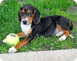 bluetick coonhound rescue illinois arcanine adopted puppy mt prospect il beagle treeing