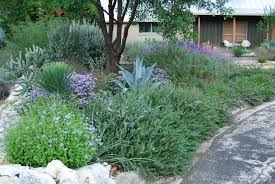 49 best california native plants prostrate rosemary for border planting and ground cover