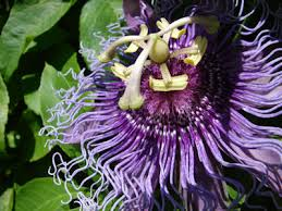 Purple Flower On A Vine - the herb gardener how to grow passionflower