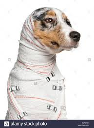 australian shepherd illustration close up of australian shepherd puppy in bandages 5 months old