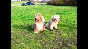 bearded collie x terrier bearded collie wheaten terrier mix youtube
