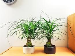 office plant pony tail elephants foot tree palm beaucarnea recurvata house