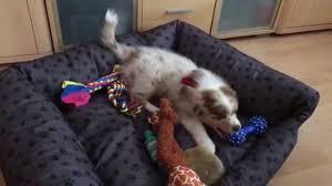 australian shepherd puppy 4 months australian shepherd mila 3 month youtube