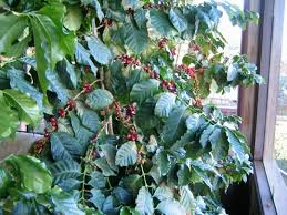 part ii all you need to about growing coffee trees in your