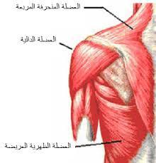 نظرة على تعريف العضلة الدالية وعمل العضلة الدالية ومنشأ العضلة الدالية بالصور  Images?q=tbn:ANd9GcRBkmWB9u9stXtlxQ-wUtbz6oBORNumCG2Bc_fW8kJvGSHfvd8KlHD9zGL6Xg