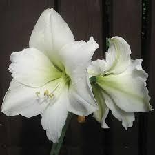 Silk Amaryllis Flowers - amaryllis flower pictures silk red u0026 white amaryllis flowers