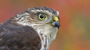 you could see thousands of hawks in one day u2013 cool green science