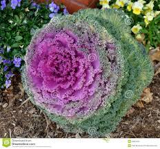 ornamental kale plant stock image image 23261231