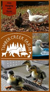 Keeping Free Range Chickens In Your Backyard Free Range Ducks Pros And Cons Timber Creek Farm