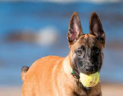 belgian shepherd how much learn about the belgian malinois dog breed from a trusted veterinarian
