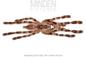 minden pictures stock photos indian ornamental tarantula
