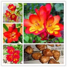 ship flowers freesia bulbs freesia flower flowers orchids flower free
