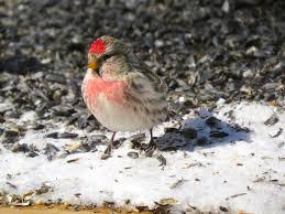 Wisconsin birds images Winter birds in northern wisconsin feederwatch jpg