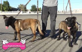 belgian shepherd exercise requirements low cost dog and cat shots in northern california at our ceres pet