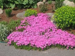 Rock Garden Cground Phlox Subulata Pink A Lived Cold Climate Perennial It Is