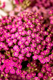 126 best achillea images on pinterest flowers perennials and