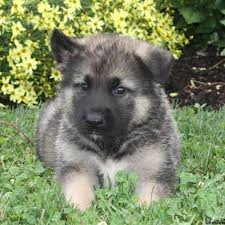 puppies for sale pa akita mix puppies for sale in pa greenfield puppies