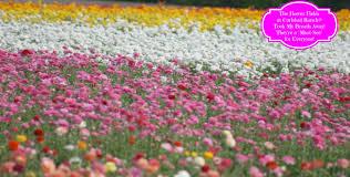 carlsbad flower garden the flower fields at carlsbad ranch took my breath away over