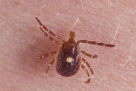 how one tick bite can lead to a life threatening meat allergy